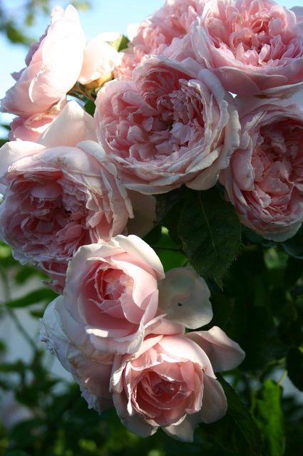 Katherine Morley Roses: