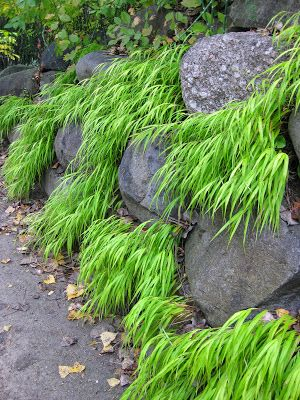 "our 'All Gold' golden Hakone grass (Hakonechloa macra) ""waterfall"" - perennial   -   Rotary Botanical Gardens - Hort Blog: ""While The Weather Outside Is Frightful..."""