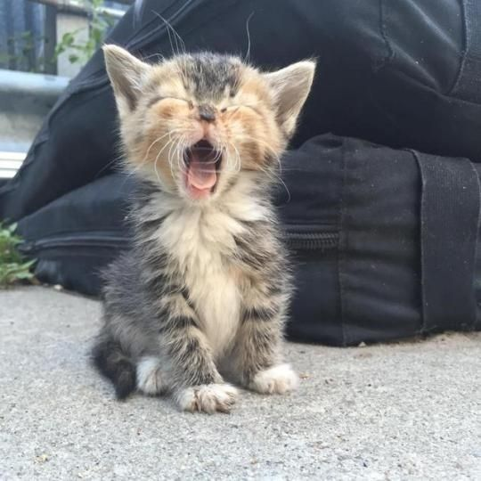 15 Adorable Roaring Kittens Kittens Cutest Cute Animals Cats And Kittens