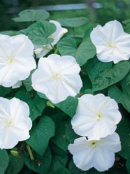 Moonflower, Queen of the Night - Moonflower at Cooksgarden.com