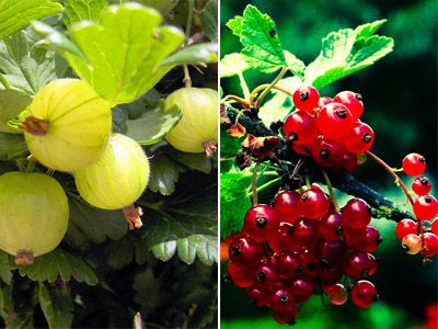 container gardening currants and gooseberries