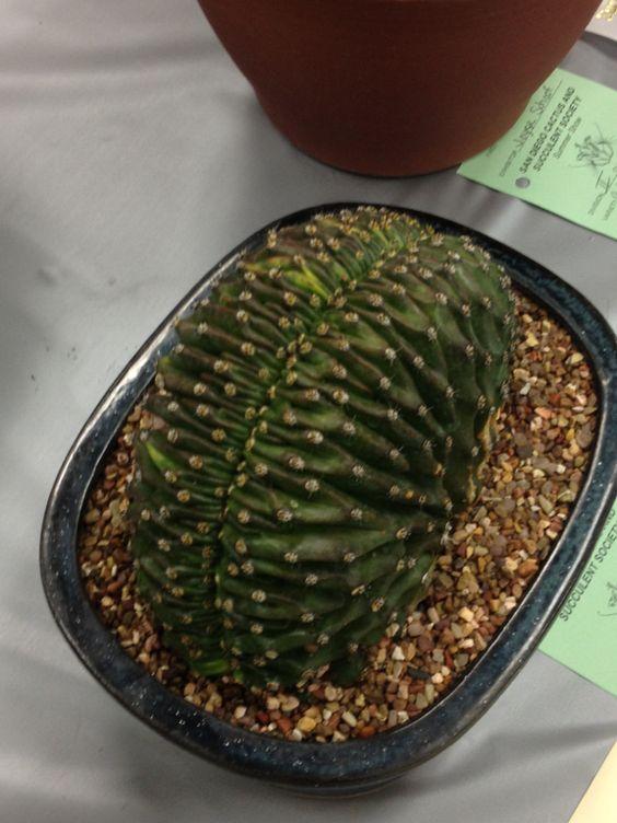 Echinopsis cristata