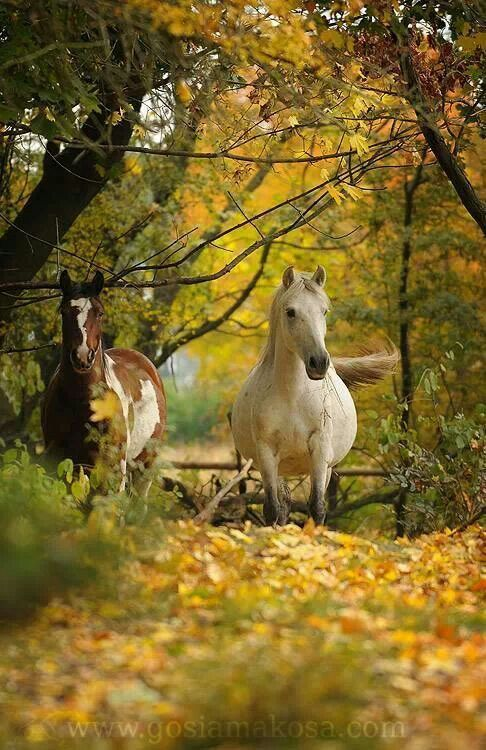 Horses on a country walk at the beginning of autumn as the leaves are the trees start changing colors: