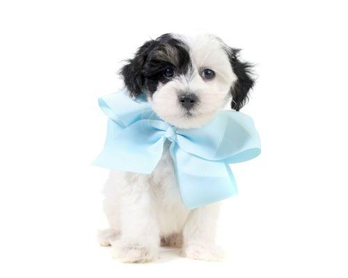 Punkin Blue Cute Little Teddy Bear Schnoodle Boy Is Available