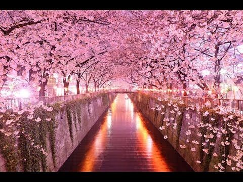 1 Wisteria Flower Tunnel Japan The Spectacular Views Of The Wisteria Flowers At Kawachi Fuji Gardens In Kit Wisteria Tree Cherry Blossom Wallpaper Tree Tunnel
