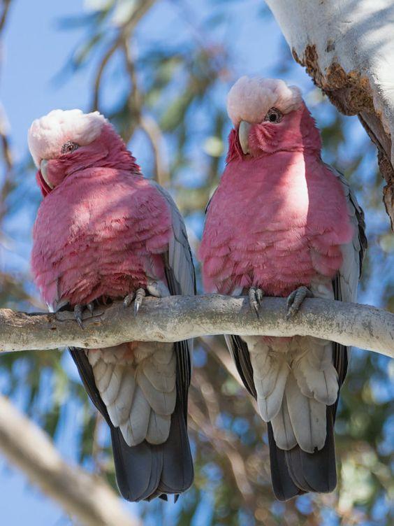 Wamboin, NSW, Australia. Female left (red eye), Male right (dark eye).