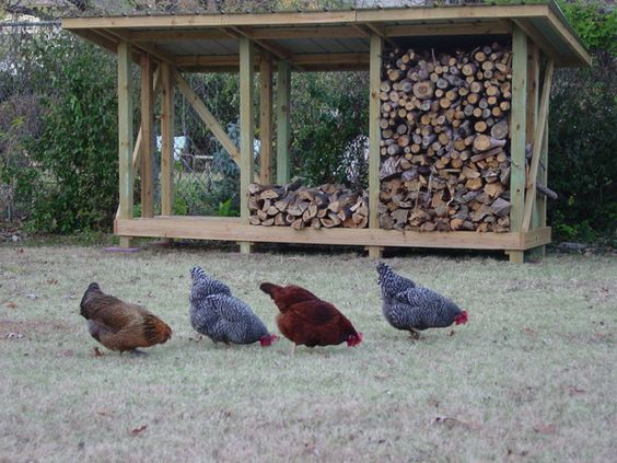 Chicken shots 11-20-10 007.jpg