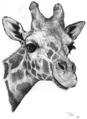 Giraffe Face Drawing