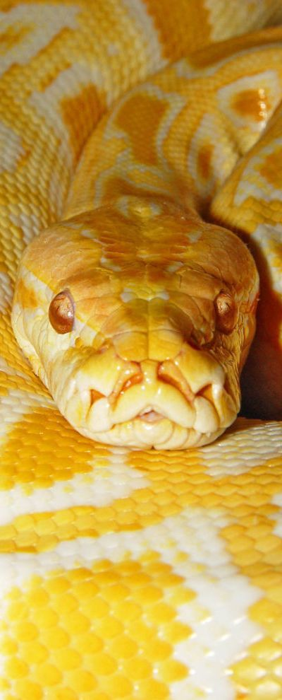 Burmese python - not fond of snakes, but his coloring actually is pretty
