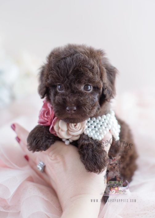 Chocolate Poodle Puppy For Sale 037 Teacup Puppies Teacup