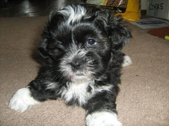 shih tzu toy poodle mix shi tuz toy poodle mixed puppies images images of shih 8272