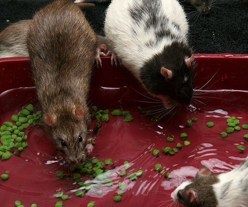 Toys and Playtime - An Ultimate Guide to Pet Rats