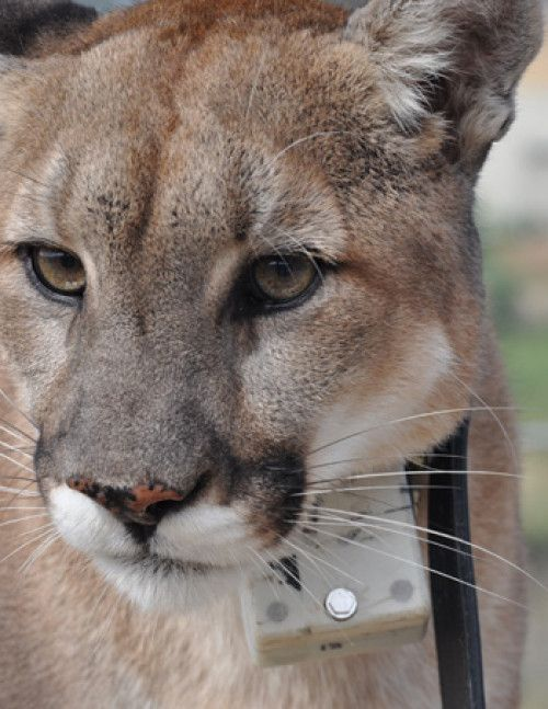 """❤ =^..^= ❤  High-tech collars enabled scientists to record the energetics of mountain lion hunting behavior, showing why cats use """"stalk and pounce"""" and how they overpower large prey."""