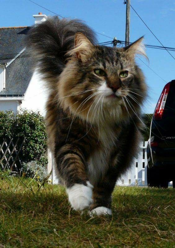 Norwegian Forest Cat Image By Rudy G On Cats Siberian Cat Animals