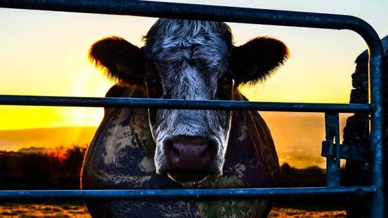 Cowspiracy: O documentário que anda a fazer veganos vai ser exibido em Lisboa - Observador