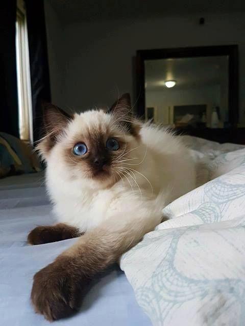 Seal Point Ragdoll Kitten My Kitty Cat Scottishfold Catsandkittens Ragdoll Kitten Ragdoll Cat Cat Facts