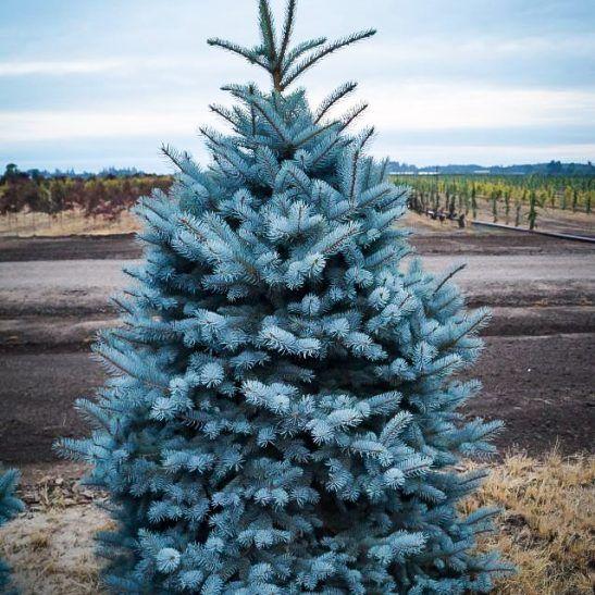 Baker S Blue Colorado Spruce Colorado Spruce Colorado Blue Spruce Specimen Trees