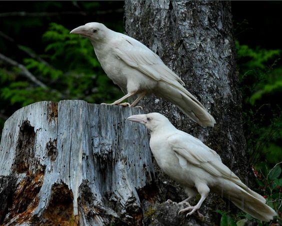 babylonsidhe:  Photo of the rare white ravens that live on Vancouver Island.