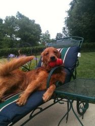 Trevor is an adoptable Golden Retriever Dog in Louisville, KY. Trevor's foster family says he is a great dog! As you can see from this picture, he loves to lounge by the pool... the pool is one of his...