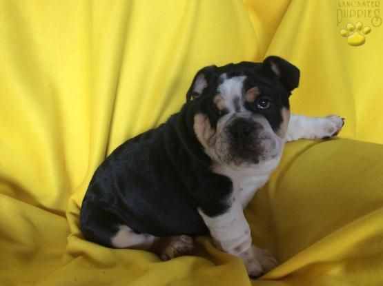 Peppermint English Bulldog Puppy For Sale In Lancaster Pa