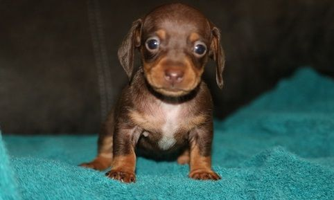 Dachshund Puppies For Sale Worcester Ma Puppies For Sale