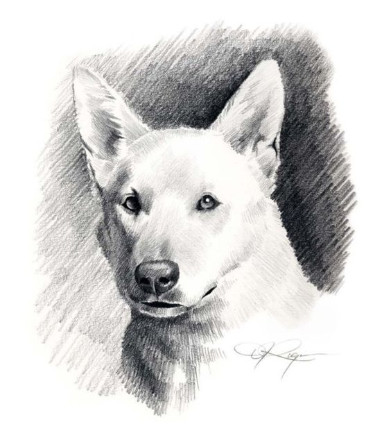 white german shepherd dog pencil drawing art print signed