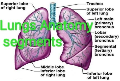 Lungs Function And Structure Healthcare4007 Over Blog Com Lung Anatomy Segmentation Anatomy