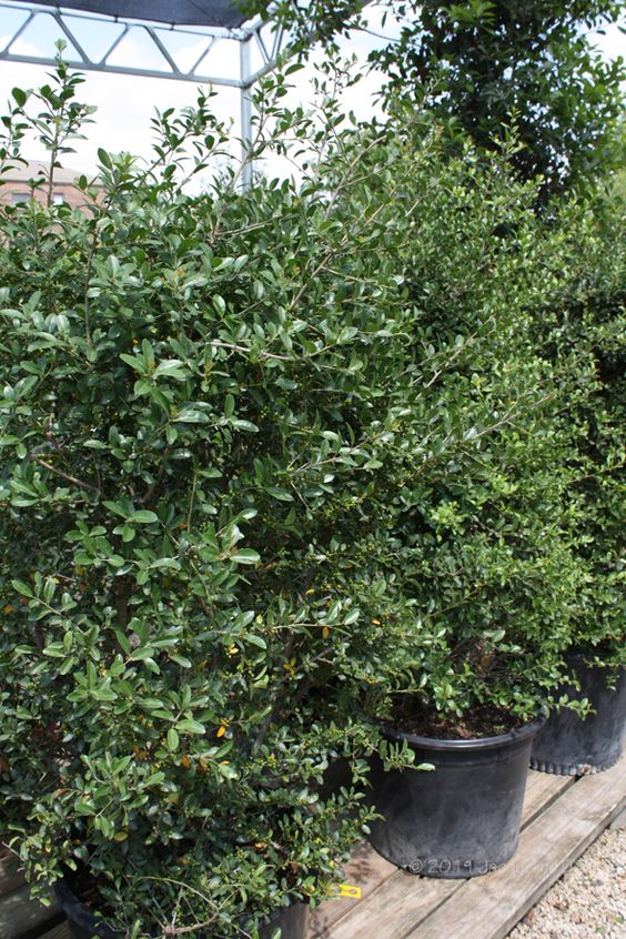 Male And Female Holly Bushes