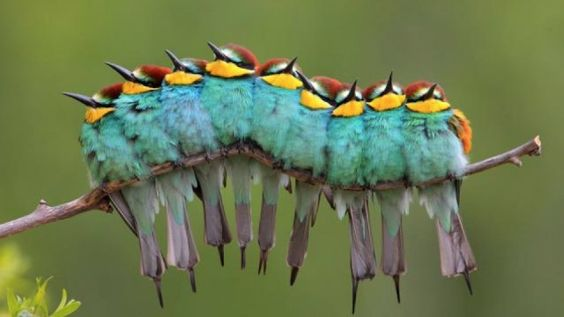 """Nine European Bee-Eaters in a photo taken by Jose Luis Rodriguez.  The image is named Oruga de Plumas which translates roughly to """"Caterpillar of Feathers"""""""