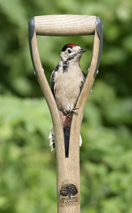 sittinonmyfrontporch:  Young Woodpecker by  Kevin Keatley