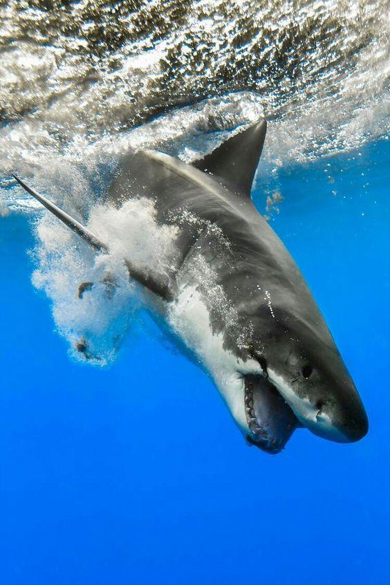 海に潜るホホジロザメ