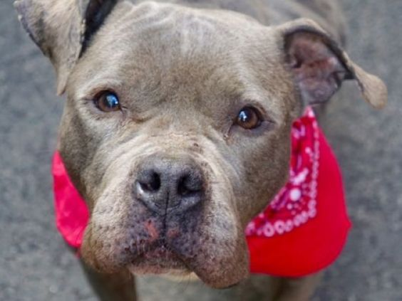"7/7 MAGGIE - A1078266 TO BE DESTROYED 07/07/16 **ON PUBLIC LIST** A volunteer writes: I got Maggie from the vet tech's hands. ""Such a good girl"", he told me. ""We drew her blood and she was fine with it."" We exchanged leashes, and off we went to the yard. Maggie is an older gal dressed in a perfect silvery coat. I see a Boxer in her and may be a Sharpei too, as her muzzle is a bit wrinkled. Her nails are very long and curved. Maggie, sadly, is skin and bones. We will never completely know…"