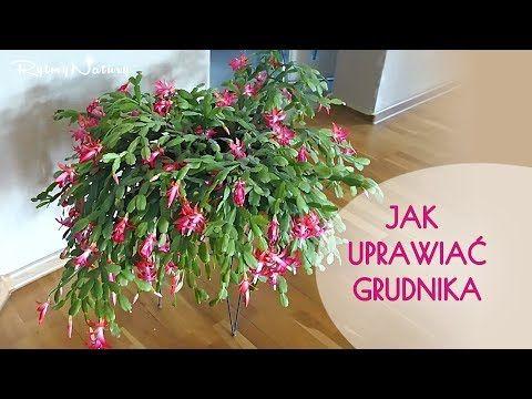 Jak Uprawiac Grudnika Aby Kwitl Dlugo I Obficie Bulb Flowers Flowers Indoor Plants