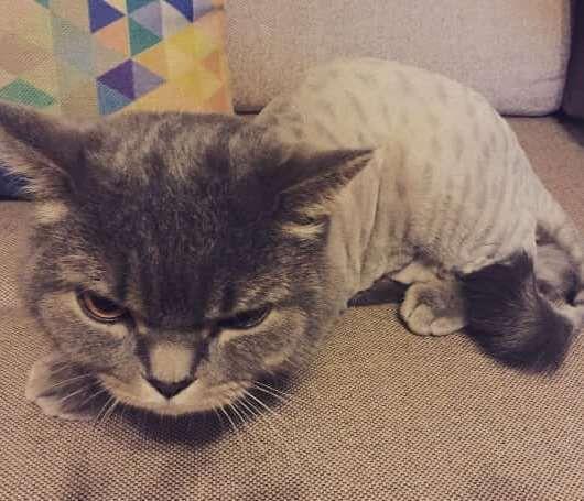 صور قطط غاضبات بعد حلاقة شعرها في الصيف Cats Feline Cute Cats