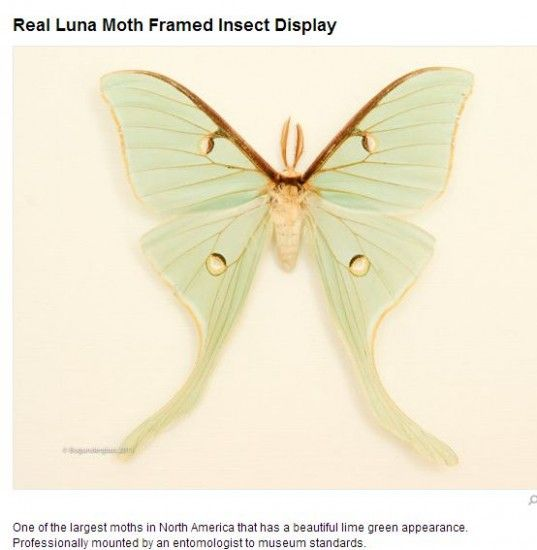 Luna moth scientific illustration - photo#1
