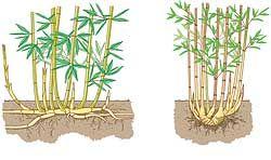 Bambus Wurzeln Vergleich