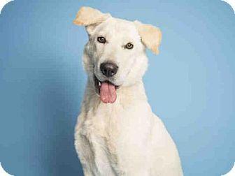 Phoenix, AZ - Labrador Retriever Mix. Meet SNOWBALL, a dog for adoption. http://www.adoptapet.com/pet/16914575-phoenix-arizona-labrador-retriever-mix