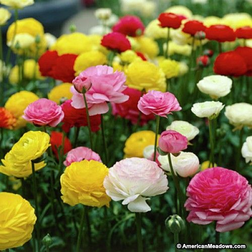 Tecolote Ranunculus Mix With Images Bulb Flowers Spring Flowering Bulbs Ranunculus Flowers