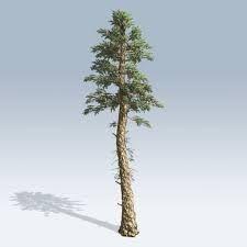 Douglas-fir - Google Search