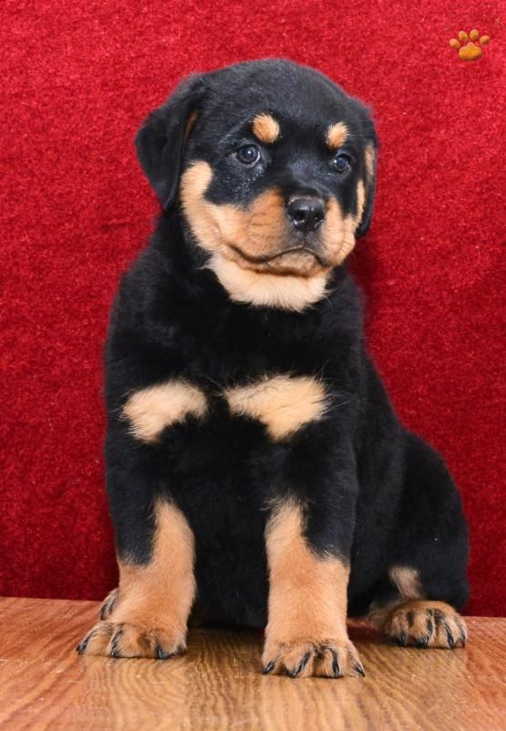 Pin By Dorothy Eyles On Puppies Rottweiler Puppies Rottweiler Puppies For Sale Rottweiler