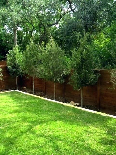 Best Privacy Trees For Small Backyards Backyard Trees Privacy
