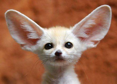Bat-eared fox / Grootoorvos | Taken @ Olmense Zoo, Olmen (B)… | Flickr