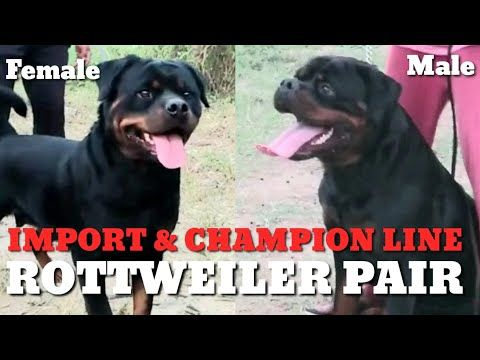 Rottweiler Adult Pair Champion Import Pedigree Kci Registered Kennel Club Of India Top Quality Youtube In 2020 Rottweiler Kennel Champion