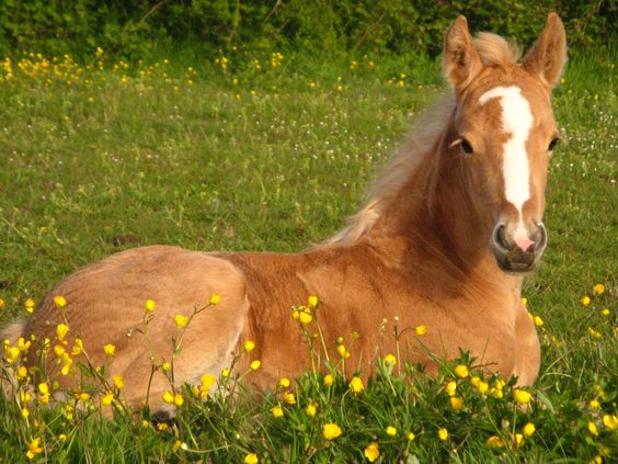 32 best images about Palomino Horse on Pinterest