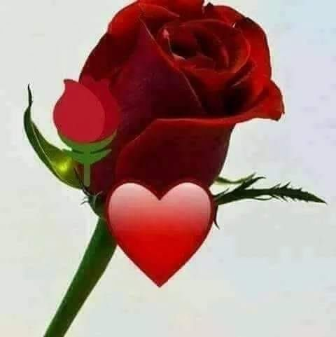 Pin By عمر عمر On يا هلا والله نورت حسابي ممكن لايك وتعليق Rose Plants Flowers