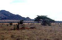 Na África , a savana com arborização escassa é o habitat preferencial dos leões.