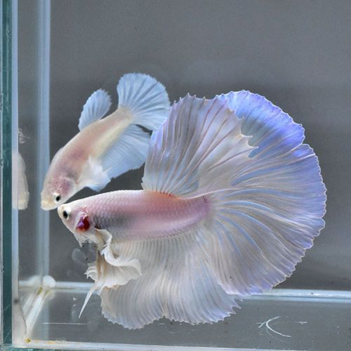 Betta Fish Male Amp Female 034 Dumbo White Platinum Big Ear Hm 034 Premium Rare Find Betta Fish Betta Fish