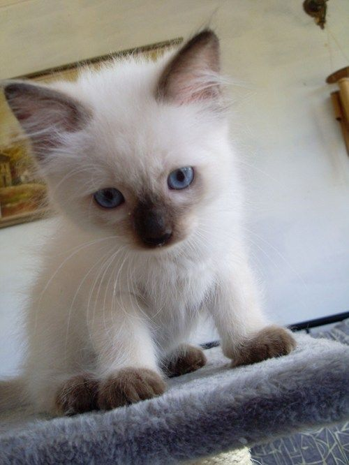 siamese kitten. Eeeee. I want one so badly - Spoil your kitty at www.coolcattreehouse.com