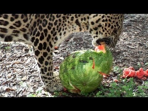 Big Cats Play With Watermelon And Eat It