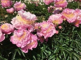 pink Peonies LAVON, Peony Farm, WA, plants for sale